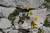Ranunculus hybrides