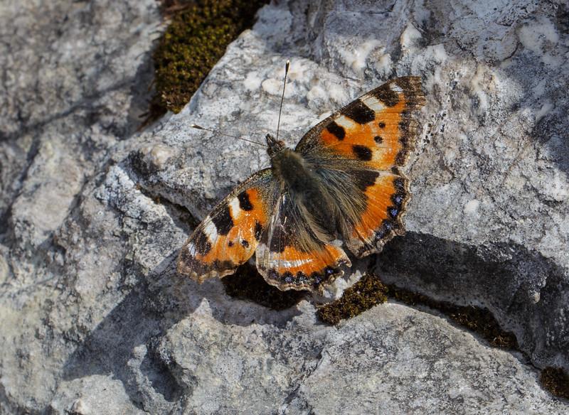 Aglais urticae ssp. urticae