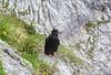 Pyrrhocorax graculus