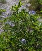 Salix waldsteiniana with Clematis alpina