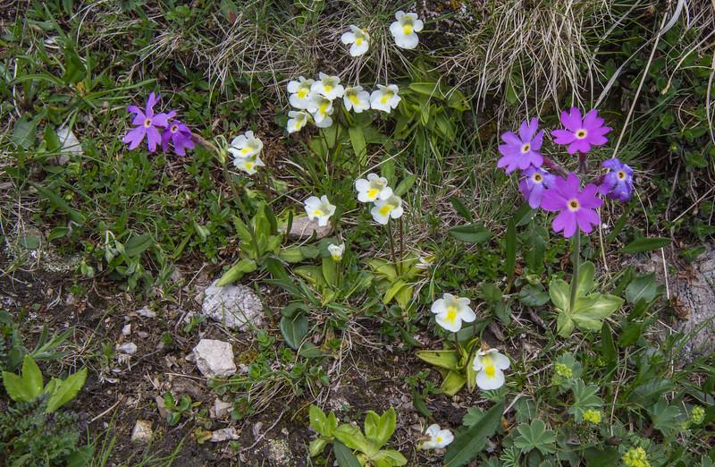 Primula halleri and Pinguicula alpina