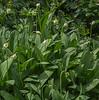 Allium victorialis or A. ursinum
