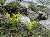 Draba aizoides ssp. aizoides