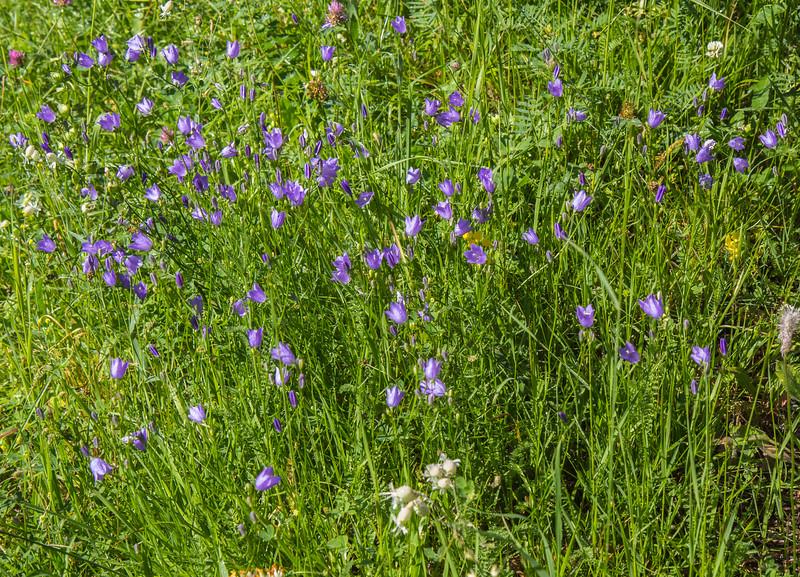 Campanula rotundifolia or C. witasekiana
