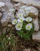 Ranunculus traunfellneri