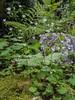 Saxifraga granulata