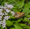 Hamearis lucina on Valeriana montana