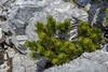 Pinus mugo ssp. mugo