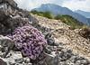 Petrocallis pyrenaica