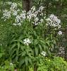 Hesperis matronalis ssp. nivea