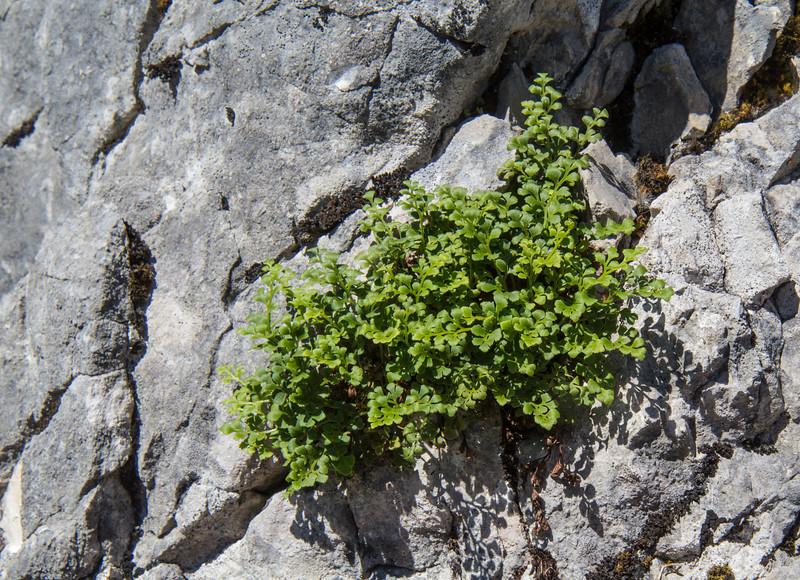 Asplenium cuneifolium