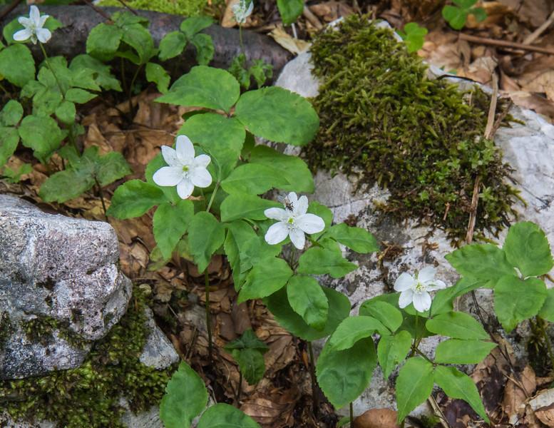 Anemone trifolia
