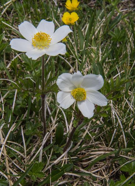 Pulsatilla alpina ssp. austriaca