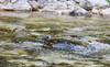 Cinclus cinclus ssp aquaticus