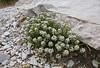 Pritzelago alpina ssp. alpina
