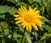 Buphalmum salicifolium