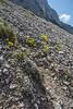 Petrocallis pyrenaicum and Allysum ovirense