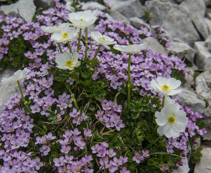 Petrocallis pyrenaica and Ranunculus traunfellneri