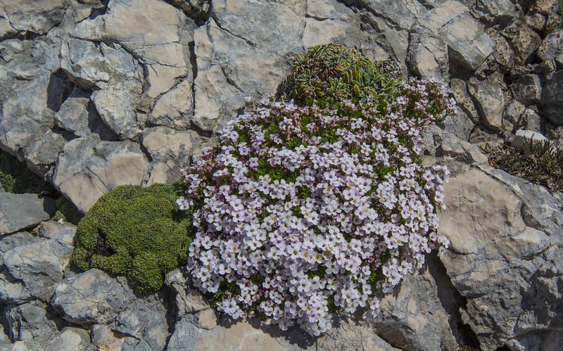 Saxifraga squarrosa, Petrocallis pyrenaica and Saxifraga crustata