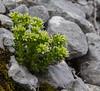 Sedum atratum ssp. carninthiacum