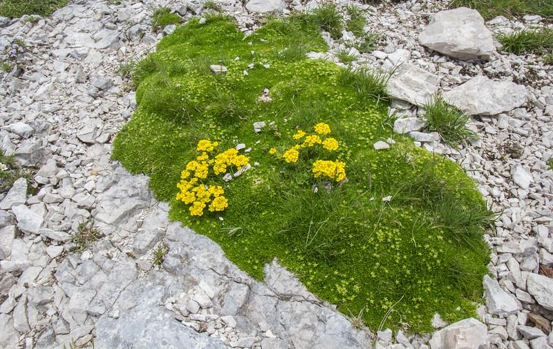 Minuartia sedoides and Alyssum ovirense