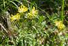 Anthyllis vulneraria ssp. carpatica