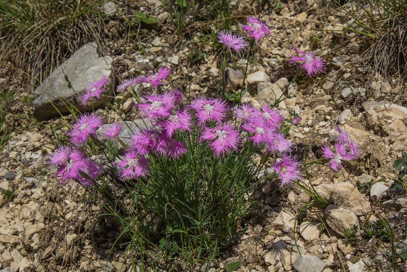 Dianthus sternbergii