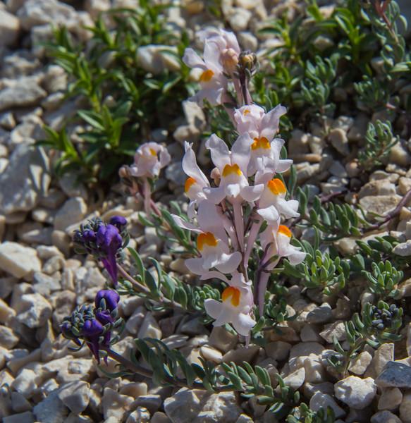 Linaria alpina ssp. alpina