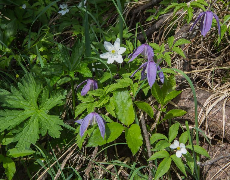 Anemone trifolia and Clematis alpina