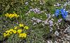 Potentilla nitida, Alyssum ovirense,  Petrocallis pyrenaica and Gentiana terglouensis