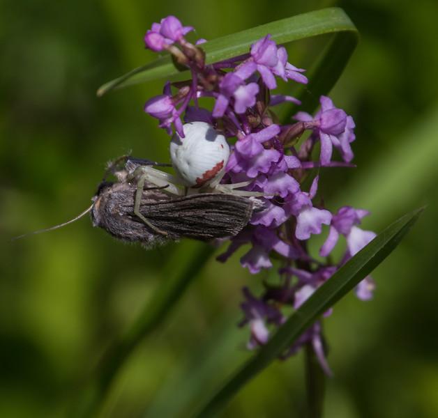 Misumena vatia on Gymnadenia conopsea