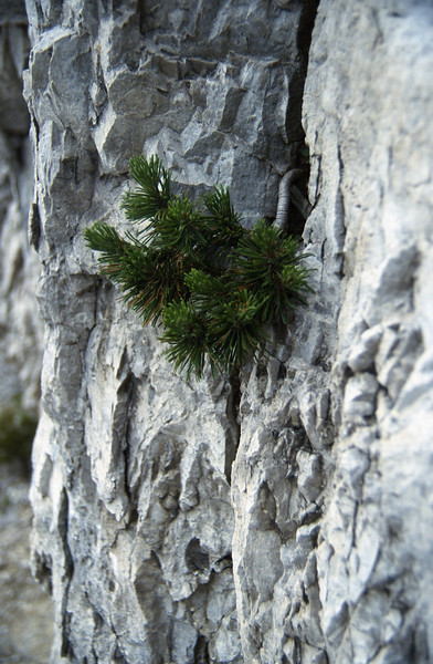 rockcrevice with Pinus spec.