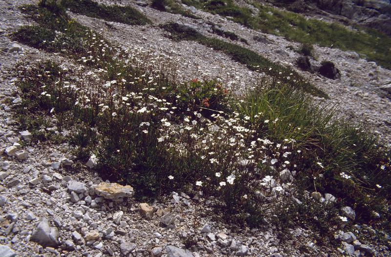 habitat of Silene alpestris