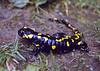 Salamandra salamandra, (NL: vuursalamander)
