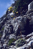 Saxifraga cristata (Mallisteger Mittagskogel 2100m)