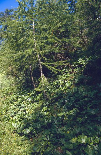 habitat of Helleborus niger