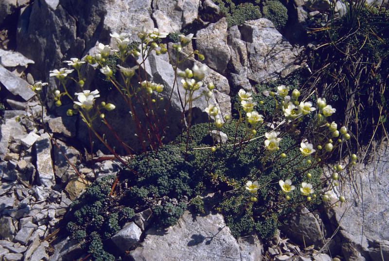 Saxifraga caesia and Saxifraga squarrosa