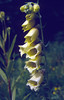 Digitalis grandiflora