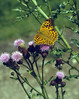 Cirsium arvense and the butterfly: Argynnis paphia, (NL: keizermantel)