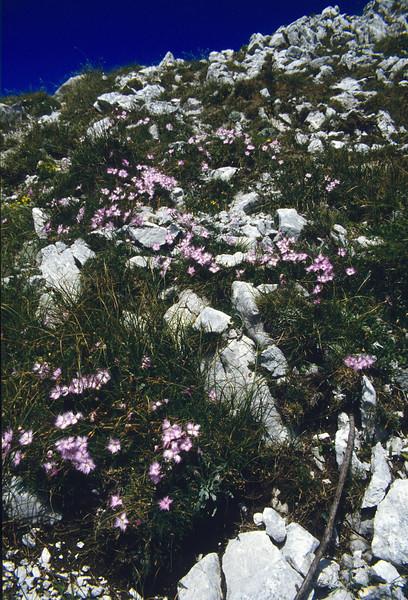 habitat of Dianthus monspessulanus ssp. waldsteinii