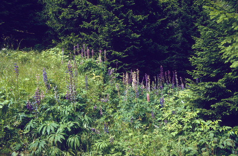 habitat of Lupinus polyphyllus