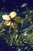 Helleborus niger in seed