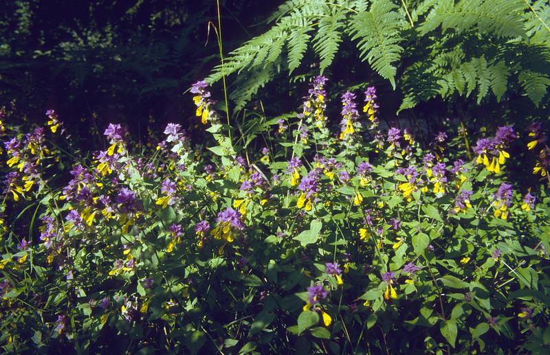 habitat of Melampyrum pratense