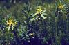 Daphne cneorum in fruit