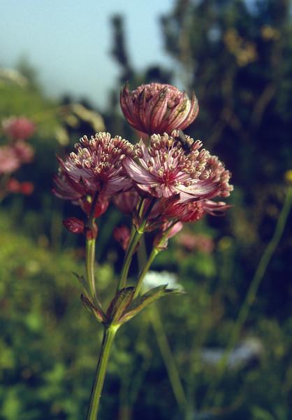 Astrantia major ssp. carinthiaca