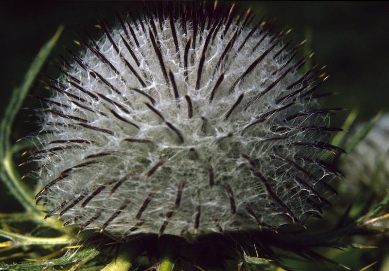 Cirsium eriophorum 1500m