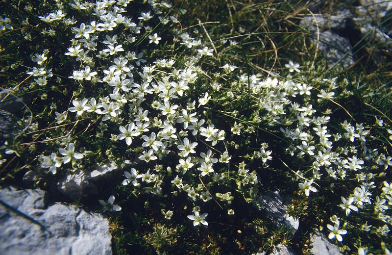 Cerastium carinthiacum