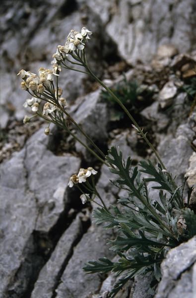 Achillea clavennae (Mallisteger Mittagskogel 2100m)