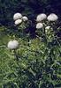 habitat of Cirsium eriophorum 1500m