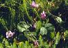 Cyclamen purpurascens (syn. C.europaeum)